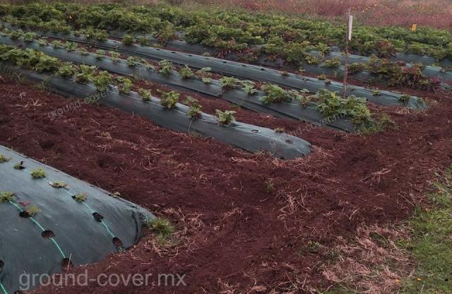 Cultivo protegido contra mala hierba con ground cover