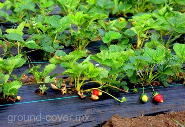 Malla antimaleza Groundcover en cultivo de fresa