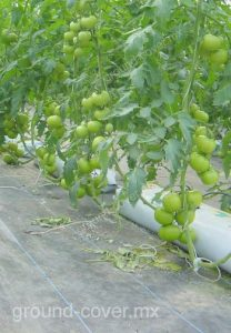 cultivo de tomate con malla anti-maleza.